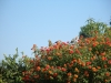 Birds in the Lantana shrubs 1012