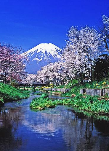 Fuji refletion and cherry trees