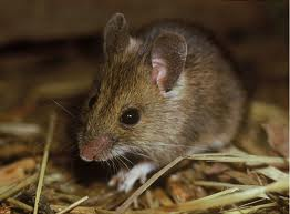 Winter Survival Field Mouse