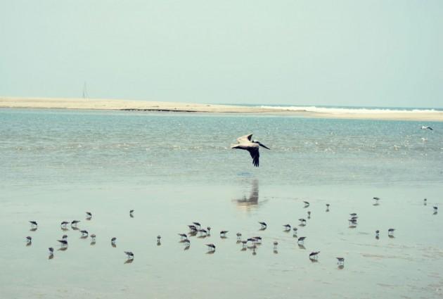 McGrath Beach many least terns and brwon pelican