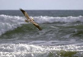 pelican soars over waves