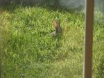 Squirrel in grass