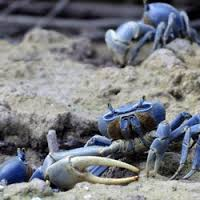 blue land crabs many