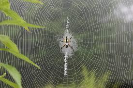 golden garden spider in web with white marks