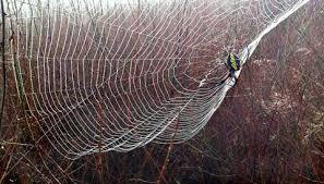 golden garden spider in web