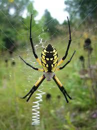 golden garden spider large body